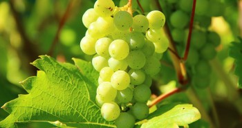 Growing Grape In Small Land With Little Tips and Tricks